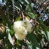 Corymbia eximia flwr (2)