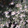 Guichenotia-ledifolia-2