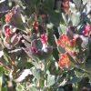 adenanthos-cuneatus_jug-flower-1