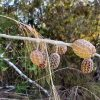 allocasuarina-torulosa_forest-she-oak-2