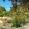 anigozanthos-flavidus-x-pulcheremis_kangaroo-paw_yellow-gem-2
