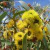 eucalyptus-erythrocorys_red-cap-gum-1