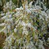 leptospermum-flavescens_tea-tree_cardwell-white-2