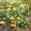 leucospermum_cordifolium-280×280