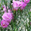 Alyogne hakeiifolia