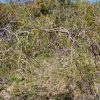 acacia-merinthophora_wattle-2