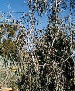 Eucalyptus caesia magna