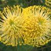 Letpospermum cordifolium yellow