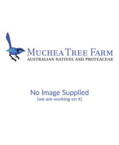 Melaleuca huegelii