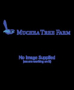 Melaleuca megacephala
