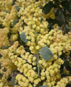 Acacia celastrifolia