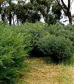 Acacia meisneri
