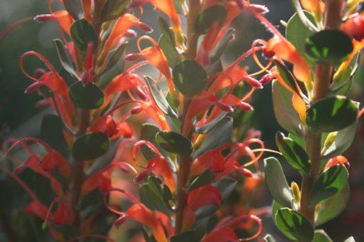 Adenanthos obovatus