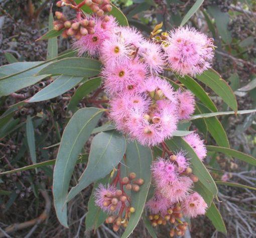 Eucalyptus lansdowneana