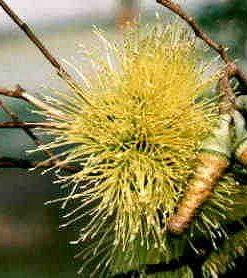 Eucalyptus megacornuta