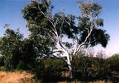 Eucalyptus victrix/microtheca