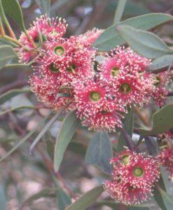 Eucalyptus nutans