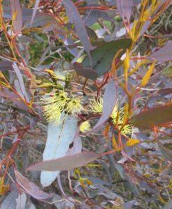 Eucalyptus pluricaulis