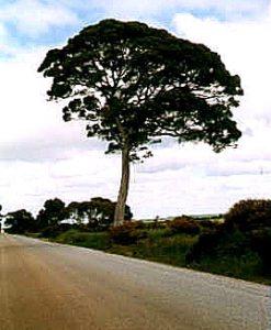 Eucalyptus salmonophloia