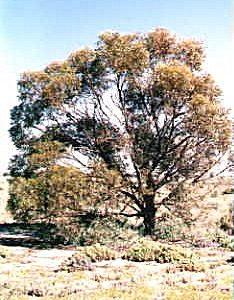 Eucalyptus sargentii
