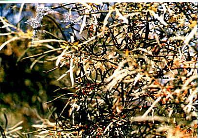 Eucalyptus suggrandis (spathulata)