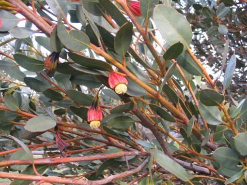 Eucalyptus stoatei