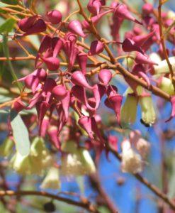 Eucalyptus rosacea (synandra)