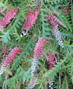 Grevillea boongala spinebill