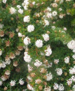 Grevillea crithmifolia upright