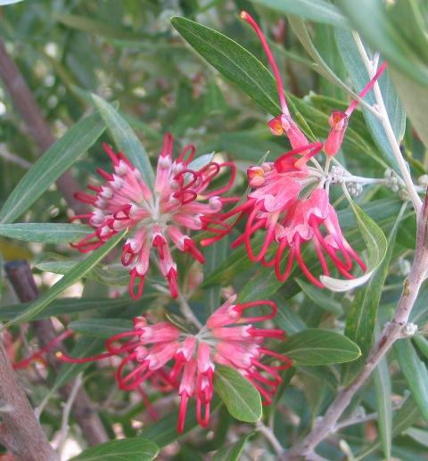 Grevillea olivacae red