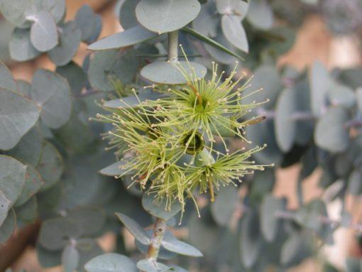 Eucalyptus kruseana