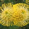 leucospermum cordifolium yellow