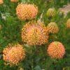 Leucospermum pattersonii 1