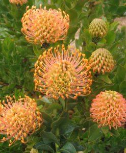 Leucospermum pattersonii