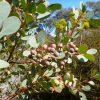 eucalyptus-orbifolia_round-leaf-mallee-2