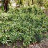 hibbertia-scandens_snake-vine-1