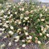 callistemon-citrinus_bottlebrush_white-anzac-1