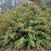 grevillea-rhyolitica-x-victoreae_lady-o-7