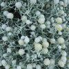 leucophyta-brownii_cushion-bush-2