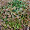 grevillea-gaudichaudii-1