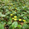 hibbertia-grossularifolia_guinea-flower-1