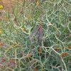acacia-aphylla_leafless-rock-wattle-2